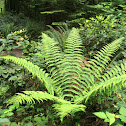 Costal wood fern