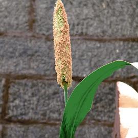 pearl millet by Sooriyan Tuty - Nature Up Close Leaves & Grasses ( pearl millet, leaf,  )