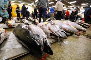 絶滅危惧種の産卵魚が巻き網で一網打尽…本マグロ今年初の水揚げに「仲卸業者が素直に喜べない」深刻すぎる理由とは?