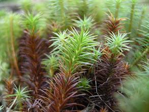 Photo: Polytrichum commune var. commune - Storbjørnemose