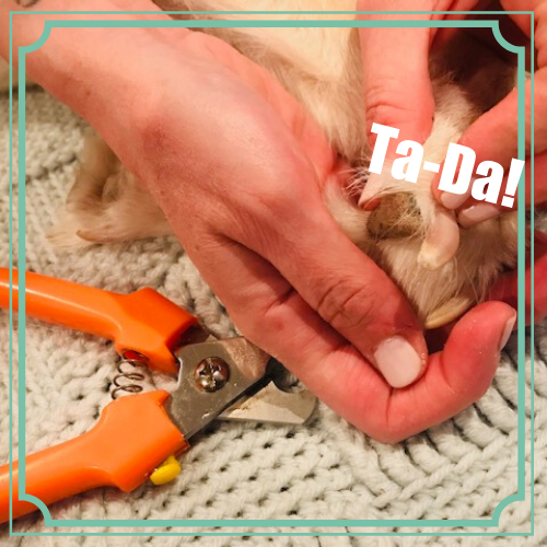 Trimmed dog nail