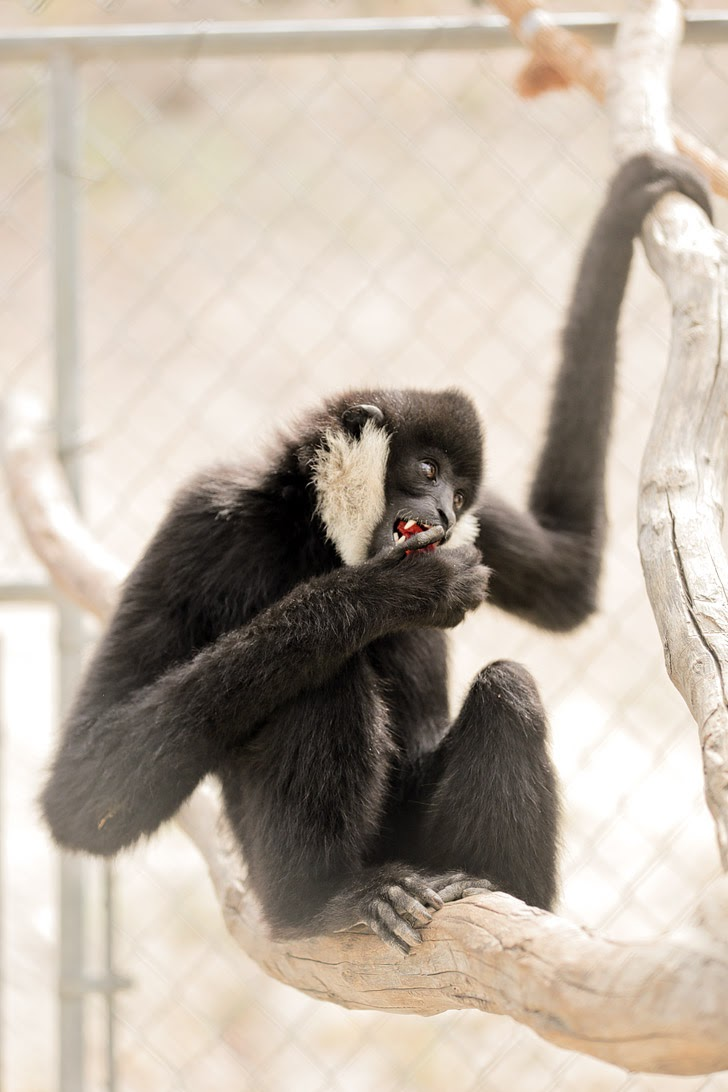 White Cheeked Gibbon.