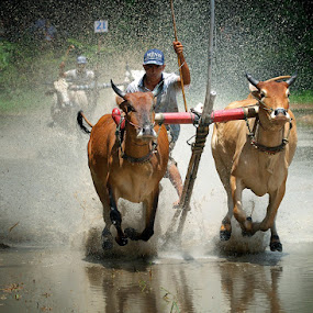 Cow racing festival by Huynh Phuc Hau - News & Events Entertainment ( cow racing festival; an giang; viet nam )