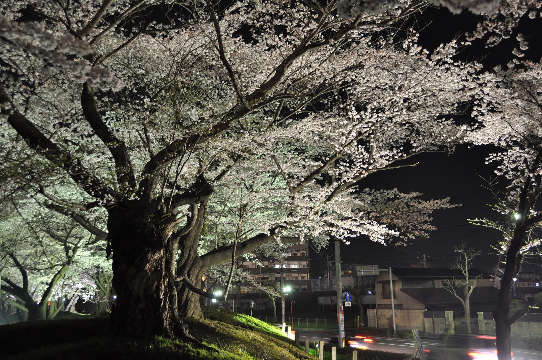 開成山桜祭り | 郡山市の桜祭り