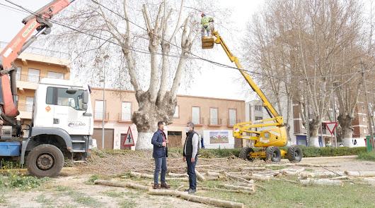Ayuntamiento de Adra acomete labores de poda en los árboles centenarios