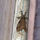 Whitemarked Tussock Moth