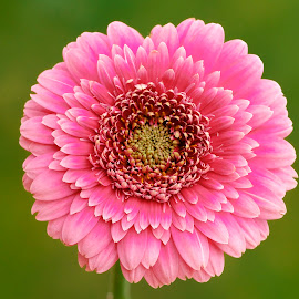 Pink red Gerbera by Jim Downey - Flowers Single Flower ( gold, pink, green, white, gerbera )