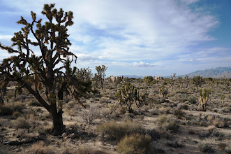 Photo: If a Joshua tree survives the rigors of the desert it can live for hundreds of years with some specimens surviving up to a thousand years.