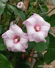"""Photo: Ipoméia Rosa Clara (Ipomoea horsfalliae """"Rosea"""")"""