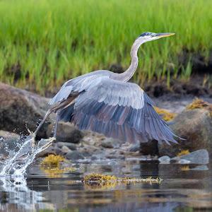 Great Blue Heron 7828.jpg