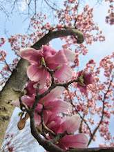 Photo: Pink tulip tree flowers and blue sky at Cox Arboretum and Gardens MetroPark in Dayton, Ohio.