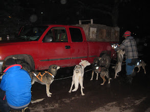Photo: Dogs are attached to a chain, waiting to get attached to the sled.