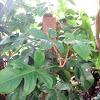 Red-bristle Philodendron