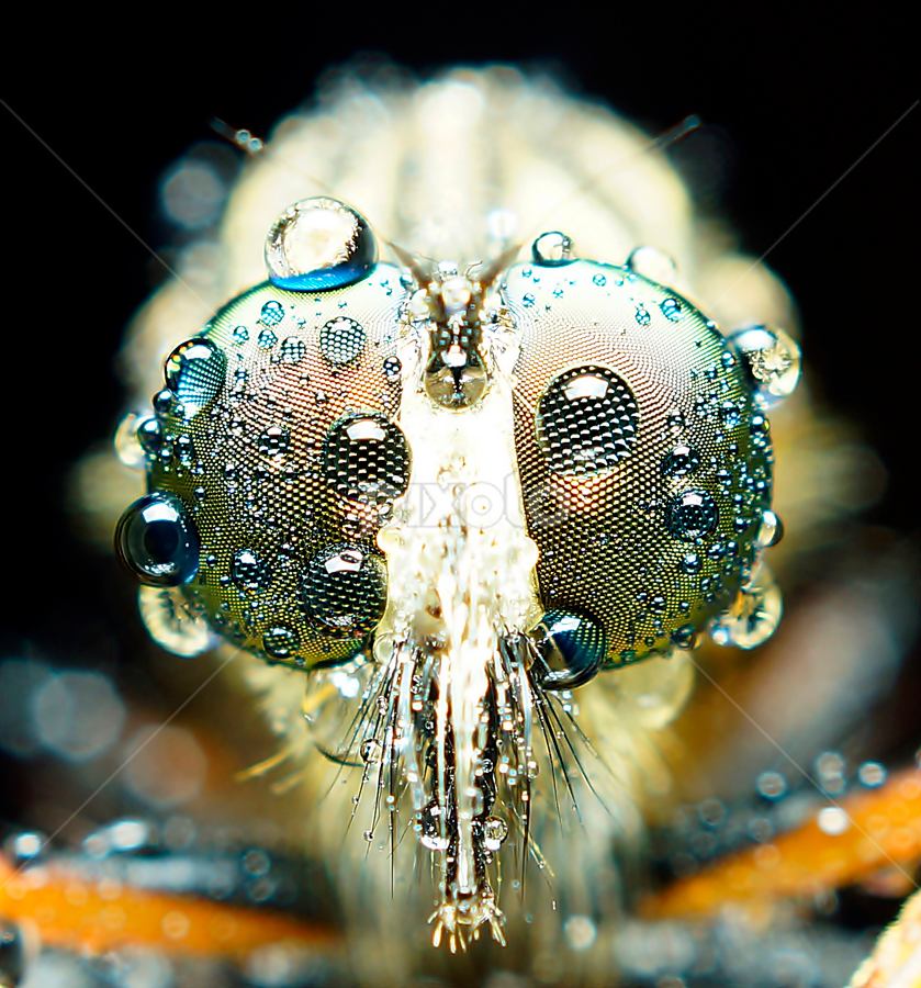 by Abgtamz Ally - Animals Insects & Spiders ( macro, animals, other, nature, waterdrops )