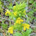 Yellow bartsia