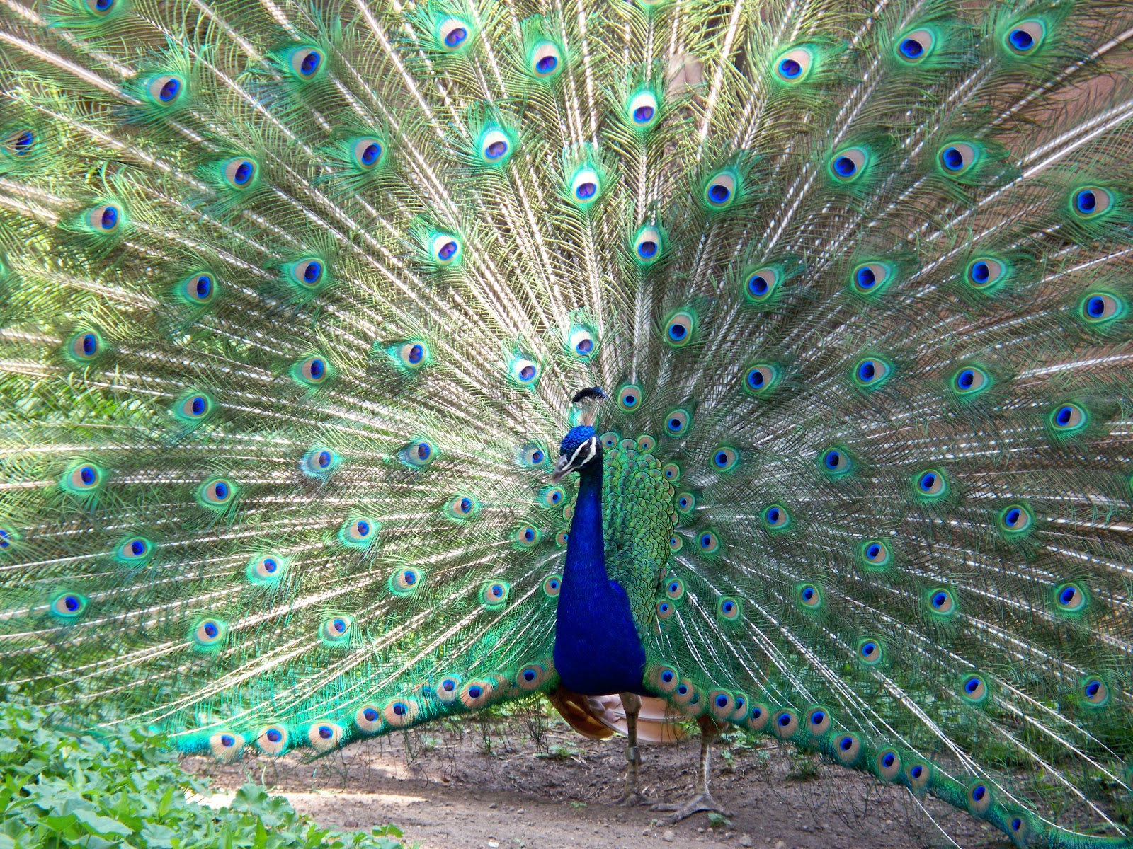 File:Peacock Milwaukee County ...