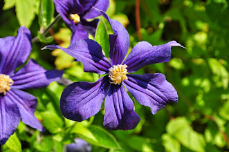 Photo: Clematis x durandii