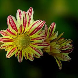 Chrysanthemums by Prema Pangi - Flowers Flower Gardens