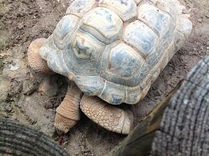 Photo: an Aldabra Tortoise