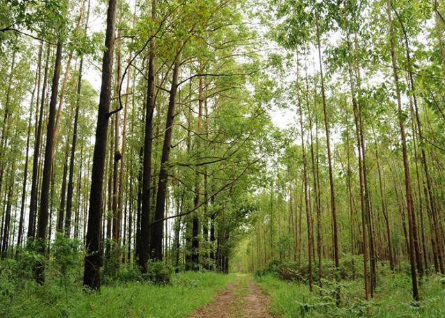 Brasil possui as florestas de eucalipto mais produtivas do mundo (Fonte: Embrapa/Reprodução)