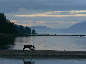 Photo: Moose in the Morning