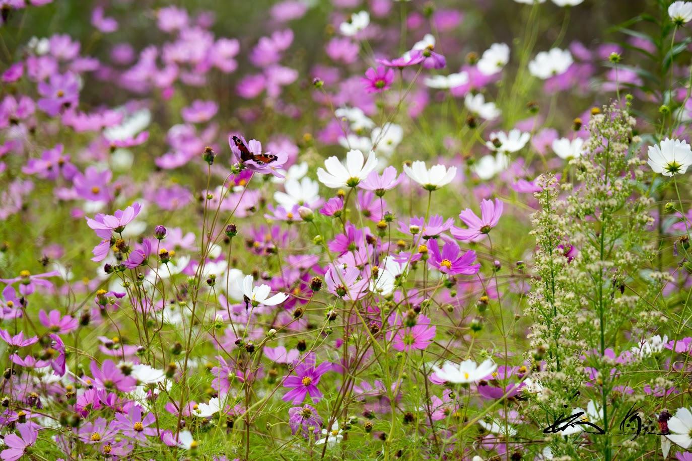 境内に咲くコスモ