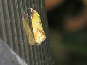 Photo: 21 Jun 13 Priorslee Lake: This is one of the more distinctive of the grass moths both in ground colour and markings: a Hook-marked Straw Moth (Agapeta hamana) on the lamps. (Ed Wilson)