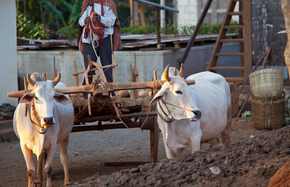 O uso de animais representou a primeira revolução tecnológica na agricultura há 5 mil anos e ainda é utilizada até hoje.(Fonte: Shutterstock)
