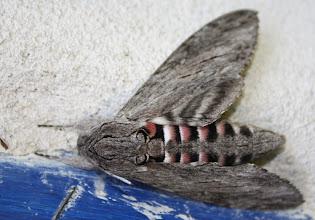 Photo: Agrius convolvuli     Lepidoptera > Sphingidae