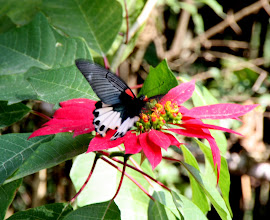 Photo: Day 245 - Butterfly and Poinsettia