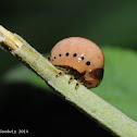 Swamp milkweed leaf beetle (larva)