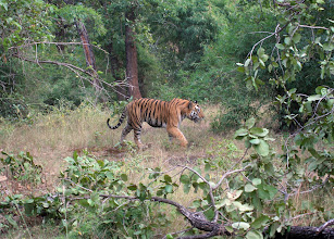 Photo: Phillip Davis's photo of a tiger