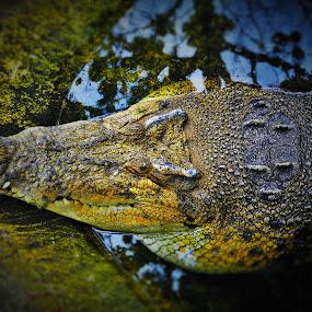 Crocs by Greg Crisostomo - Uncategorized All Uncategorized ( freshwater, mouth, crocodile, reptile, head,  )
