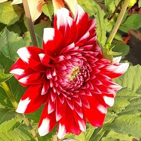 by Sukamal Biswas - Flowers Single Flower