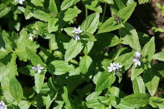 Photo: ヒメクワガタ(ゴマノハグサ科)  初めて出会った花で、名前が解らず、色々調べているうちにこの名前にたどりつきました。
