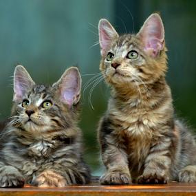 by Neni Wijaya - Animals - Cats Kittens