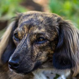 by Judy Heitzman - Animals - Dogs Portraits (  )