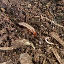 Ground Beetle Larvae