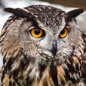 OWL by Vasco Morais - Animals Other (  )