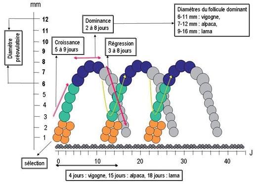 Schéma des vagues de croissance folliculaire chez les petits camélidés