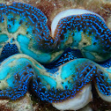 Crocea Clam