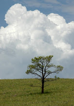 Photo: Pine and Thunderstorm, White Mountains, Apache National Forest, Arizona