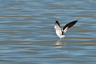 Photo: American avocet