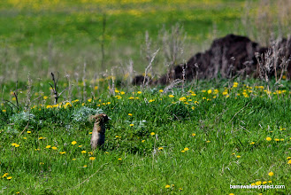 Photo: Ground squirrel with a bunch of grass in its mouth
