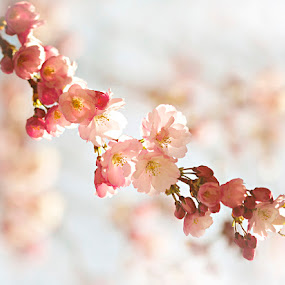 Sign of spring by Siew Feun Kylemark - Nature Up Close Flowers - 2011-2013 ( lovely, sakura, pink, cherry blossom, spring, flower )