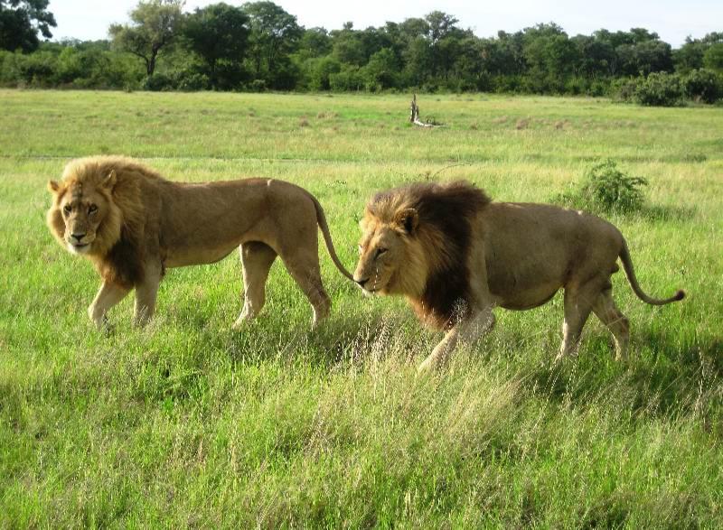 Lion pair.jpg
