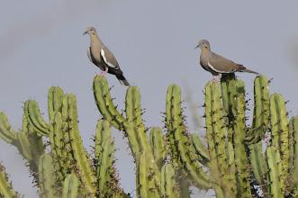 Photo: White-winged Dove (Weißflügeltaube); Juriquilla, QRO