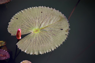 Photo: Day 320 - Water Lilly Pad