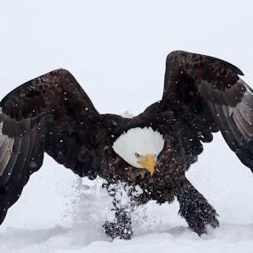 Touchdown! by Jerry Alt - Animals Birds ( eagle, landing, utah, snow, land, bald )