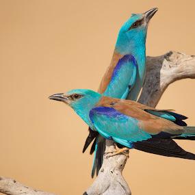Mr & Mrs roller by Howard Kearley - Animals Birds ( wild, nature, pair, blue, beautiful, birds,  )